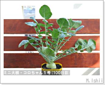 ペット栽培・試験録(ミニ大根)41