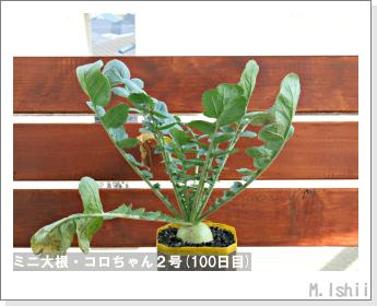 ペット栽培・試験録(ミニ大根)43