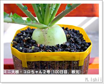 ペット栽培・試験録(ミニ大根)44