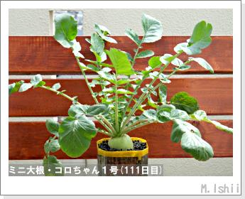 ペット栽培・試験録(ミニ大根)49