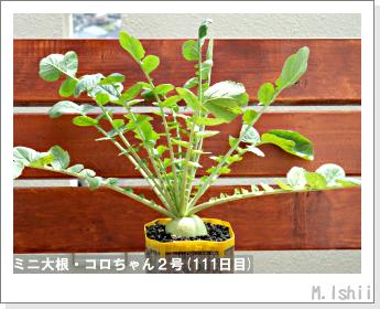 ペット栽培・試験録(ミニ大根)50