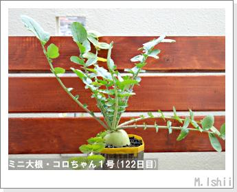 ペット栽培・試験録(ミニ大根)51