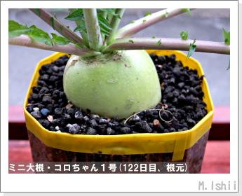 ペット栽培・試験録(ミニ大根)52