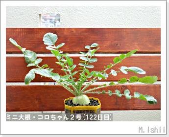 ペット栽培・試験録(ミニ大根)53