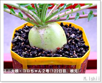 ペット栽培・試験録(ミニ大根)54