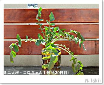 ペット栽培・試験録(ミニ大根)55
