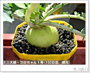 ペット栽培・試験録(ミニ大根)56