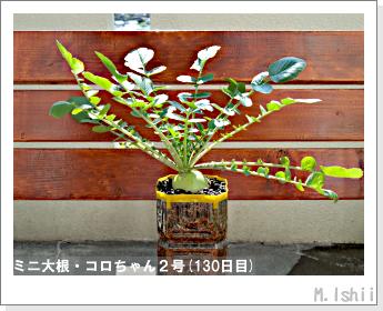 ペット栽培・試験録(ミニ大根)57