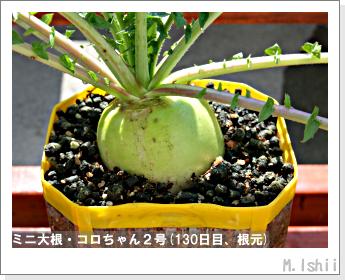 ペット栽培・試験録(ミニ大根)58