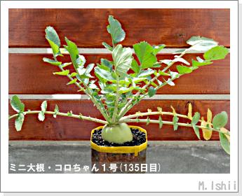 ペット栽培・試験録(ミニ大根)59
