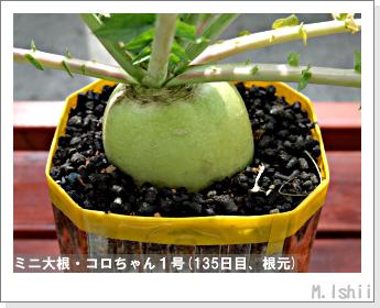 ペット栽培・試験録(ミニ大根)60