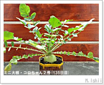 ペット栽培・試験録(ミニ大根)61
