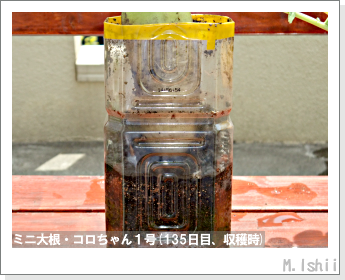 ペット栽培・試験録(ミニ大根)63
