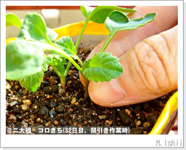 ペット栽培III(ミニ大根)08