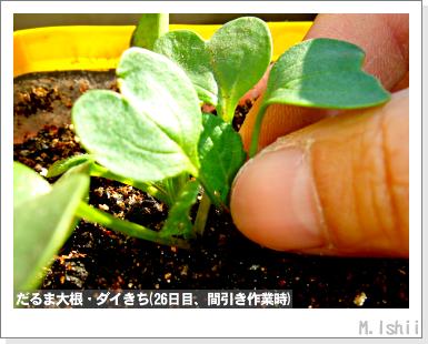 ペット栽培III(だるま大根)25