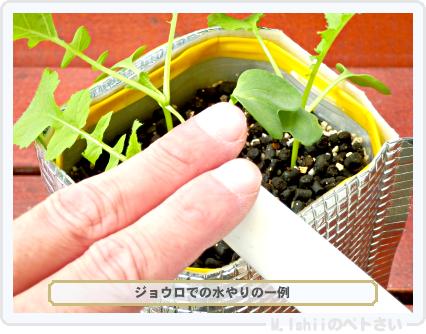 ペトさい(ミニ大根)24