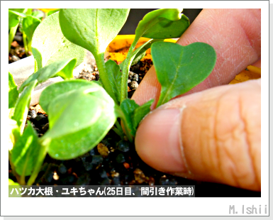 ペット栽培III(ハツカ大根)09