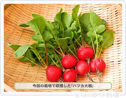 ペトさい(ハツカ大根)30
