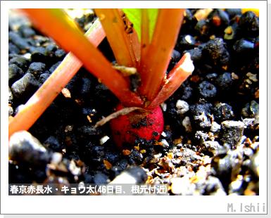 ペット栽培III(中国大根・春京赤長水)11
