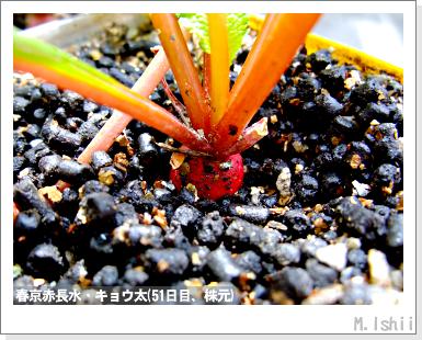 ペット栽培III(中国大根・春京赤長水)13