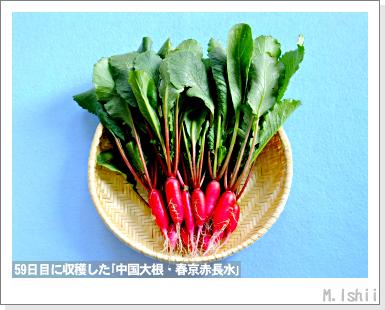 ペット栽培III(中国大根・春京赤長水)15