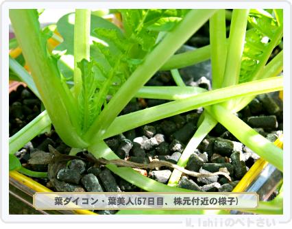 ペトさい(葉ダイコン)18