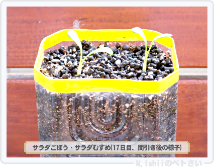 ペトさい(サラダごぼう)10