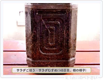 ペトさい(サラダごぼう)31