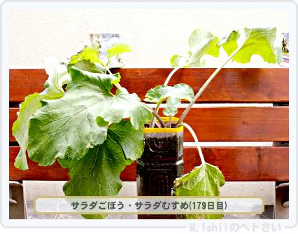 ペトさい(サラダごぼう)34