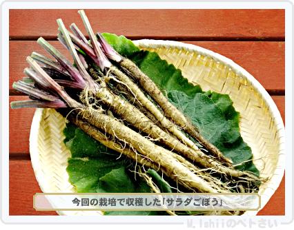 ペトさい(サラダごぼう)39