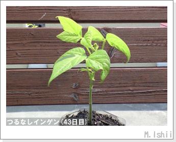 ペット栽培(つるなしインゲン)08