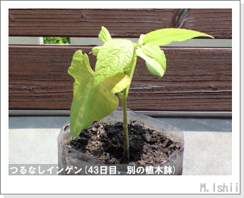 ペット栽培(つるなしインゲン)09