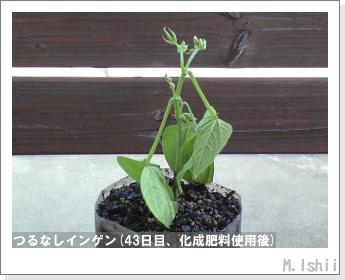 ペット栽培(つるなしインゲン)10