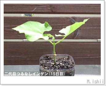 ペット栽培(つるなしインゲン)13