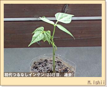 ペット栽培(つるなしインゲン)15