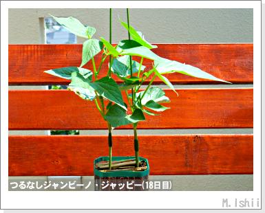 ペット栽培・試験録(つるなしジャンビーノ)34