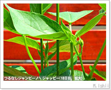 ペット栽培・試験録(つるなしジャンビーノ)35