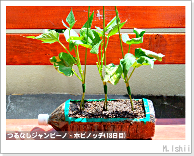 ペット栽培・試験録(つるなしジャンビーノ)36