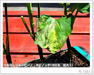 ペット栽培・試験録(つるなしジャンビーノ)37