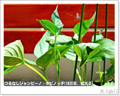 ペット栽培・試験録(つるなしジャンビーノ)38