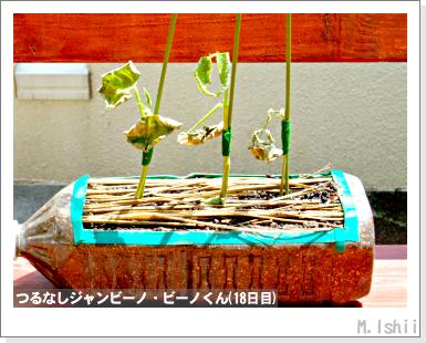 ペット栽培・試験録(つるなしジャンビーノ)39