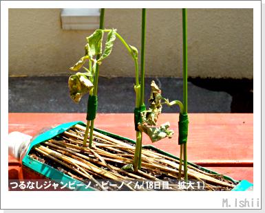 ペット栽培・試験録(つるなしジャンビーノ)40
