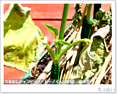 ペット栽培・試験録(つるなしジャンビーノ)41