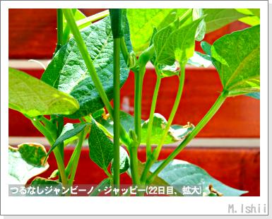 ペット栽培・試験録(つるなしジャンビーノ)44