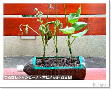 ペット栽培・試験録(つるなしジャンビーノ)45