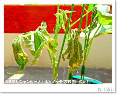 ペット栽培・試験録(つるなしジャンビーノ)46