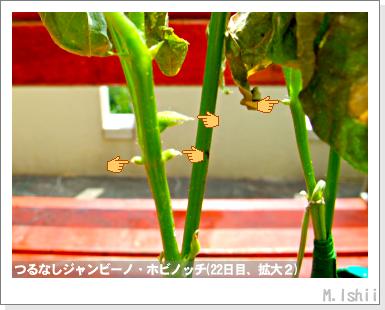 ペット栽培・試験録(つるなしジャンビーノ)47