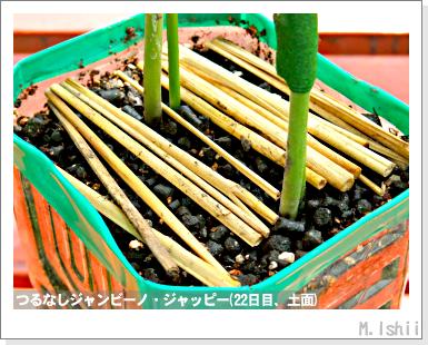 ペット栽培・試験録(つるなしジャンビーノ)51