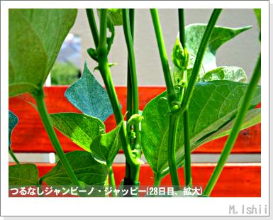ペット栽培・試験録(つるなしジャンビーノ)54