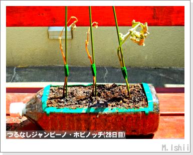 ペット栽培・試験録(つるなしジャンビーノ)55